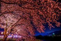 提灯の明かりに撮らされた桜