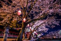 富士山本宮浅間大社の夜桜
