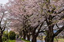 4月9日現在の桜開花状況 潤井川龍巌淵