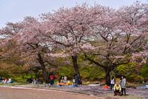 4月10日現在の桜開花状況 岩本山公園