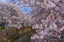 4月9日現在の桜開花状況 吉原小潤井川沿い