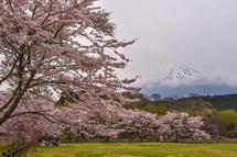 4月10日現在の桜開花状況 大淵公園