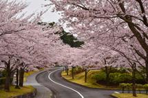 4月10日現在の桜開花状況 富士市森林墓園