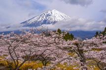 4月9日現在の桜開花状況 富士桜自然墓地公園