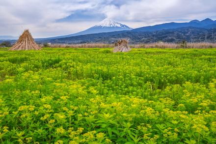 一面に広がるノウルシと富士山の風景