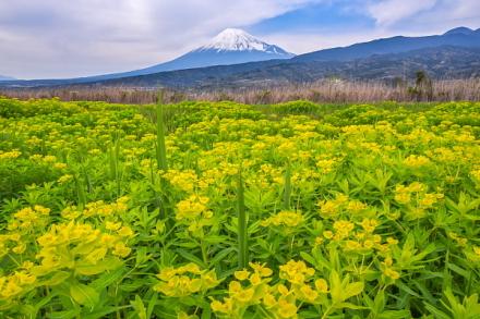 ノウルシの花のアップと富士山の風景