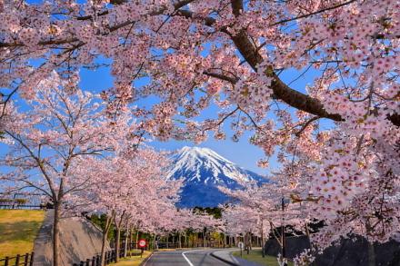 4月16日現在の桜開花状況 富士市森林墓園