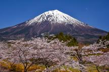 4月15日現在の桜開花状況 富士桜自然墓地公園