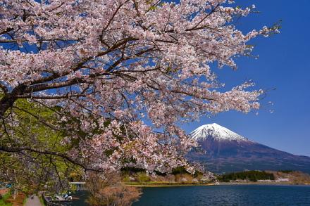 4月15日現在の桜開花状況 田貫湖