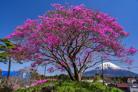 ミツバツツジ越しに見る富士山