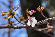 咲き始めた桜をズームアップ