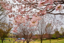見頃を迎えつつある桜