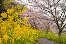 見頃を迎えつつある稲瀬川沿いの桜
