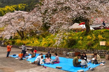 桜の下ではお花見を楽しむ