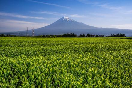 岩本山周辺からの茶畑と富士山の風景