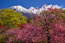咲き誇る八重桜と木々の新緑越しに見る富士山