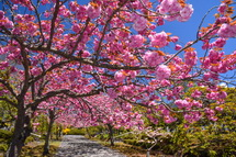 咲き誇る八重桜のトンネル