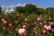 バラが咲き始めた富士市中央公園