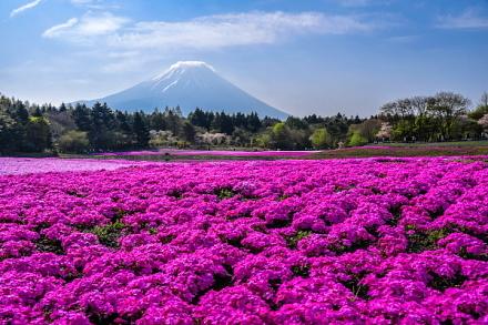 芝桜咲き誇る富士芝桜まつり会場