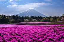 咲き誇る芝桜と富士山の風景