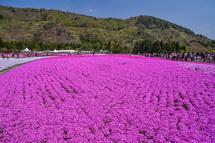 一面に広がる芝桜の絨毯