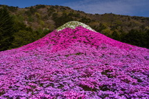 芝桜で彩られたミニ富士山