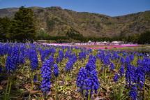咲き誇るムスカリの花