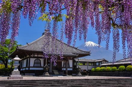下之坊の藤越しに見るお堂と富士山