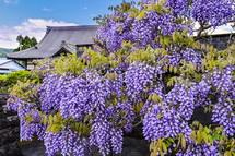 藤の花と寺社建築