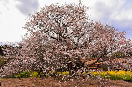 祭りに合わせるかのように見頃になった狩宿の下馬桜