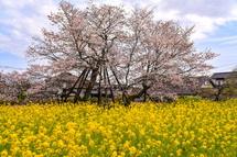 下馬桜と菜の花の風景