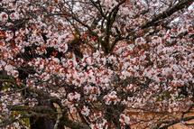 咲き誇る下馬桜