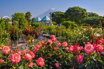 中央公園のバラと富士山の風景