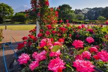 咲き誇る中央公園のバラ