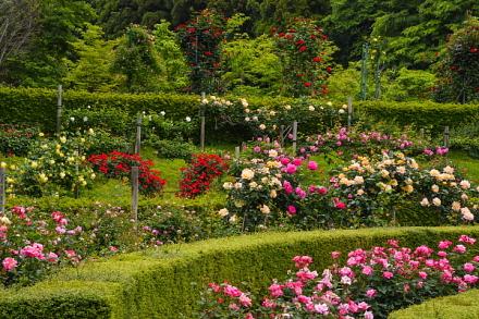 広見公園 円形花壇のバラ