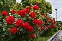 咲き誇る広見公園のバラ
