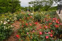 岩本山公園のバラ花壇