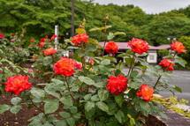 咲き誇る岩本山公園のバラ