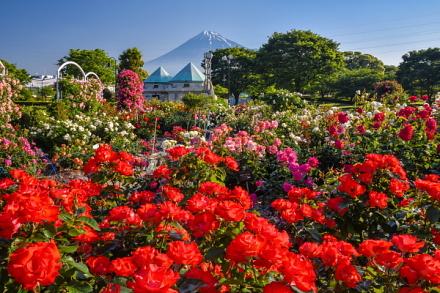 見頃のピークを迎えた富士市中央公園のバラ