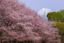 中央公園の桜と富士山の風景