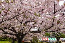 散りゆく桜を楽しめた