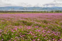 咲き誇るれんげと新幹線の風景