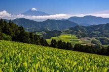 清水区吉原 新茶越しに見る富士山