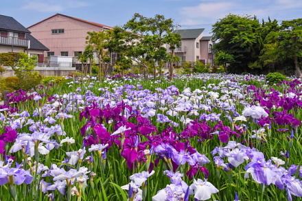 花菖蒲が咲き誇る鮫島ビオトープ