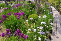 ビオトープの木道と花菖蒲の風景