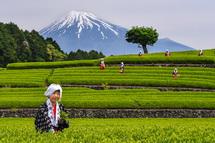 茶摘みをする茶娘と富士山の風景