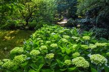 所々で咲き始めた岩本山公園のあじさい