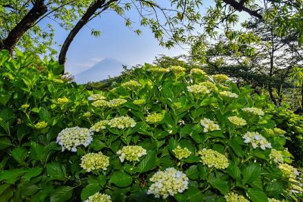 咲き始めたあじさい越しに見る富士山