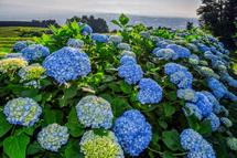 岩本山の茶畑の一角に咲くあじさいは一足お先に開花が進む