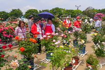 鉢植えバラの展示
